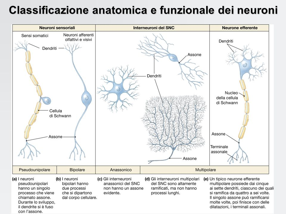 Classificazione anatomica e funzionale dei neuroni