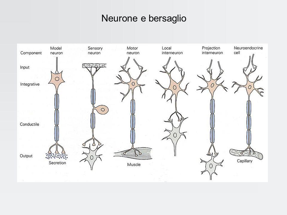 Neurone e bersaglio