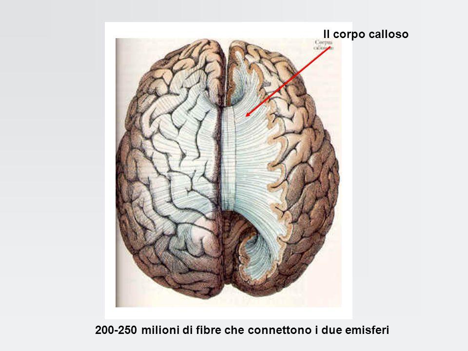 Il corpo calloso 200-250 milioni di fibre che connettono i due emisferi