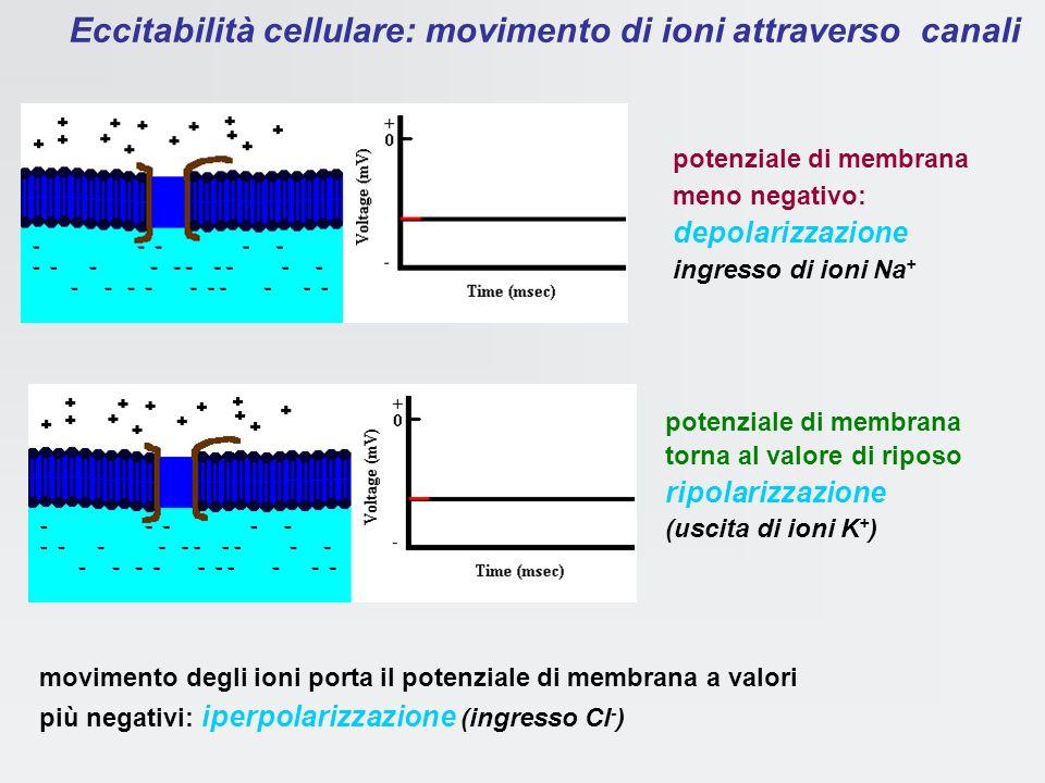 Eccitabilità cellulare: movimento di ioni attraverso canali