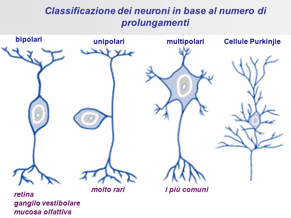 Classificazione dei neuroni in base al numero di prolungamenti