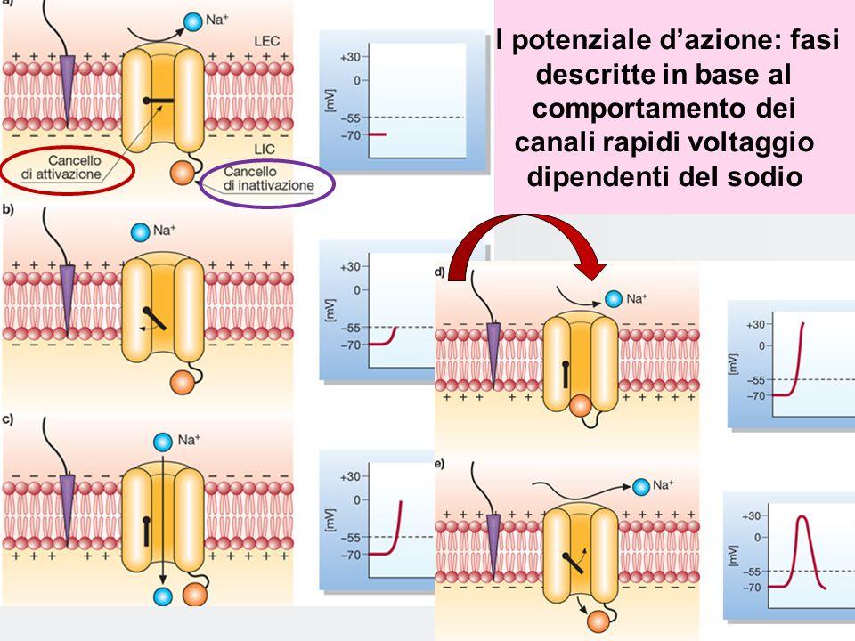 Il potenziale d'azione: fasi descritte in base al comportamento dei canali rapidi voltaggio dipendenti del sodio