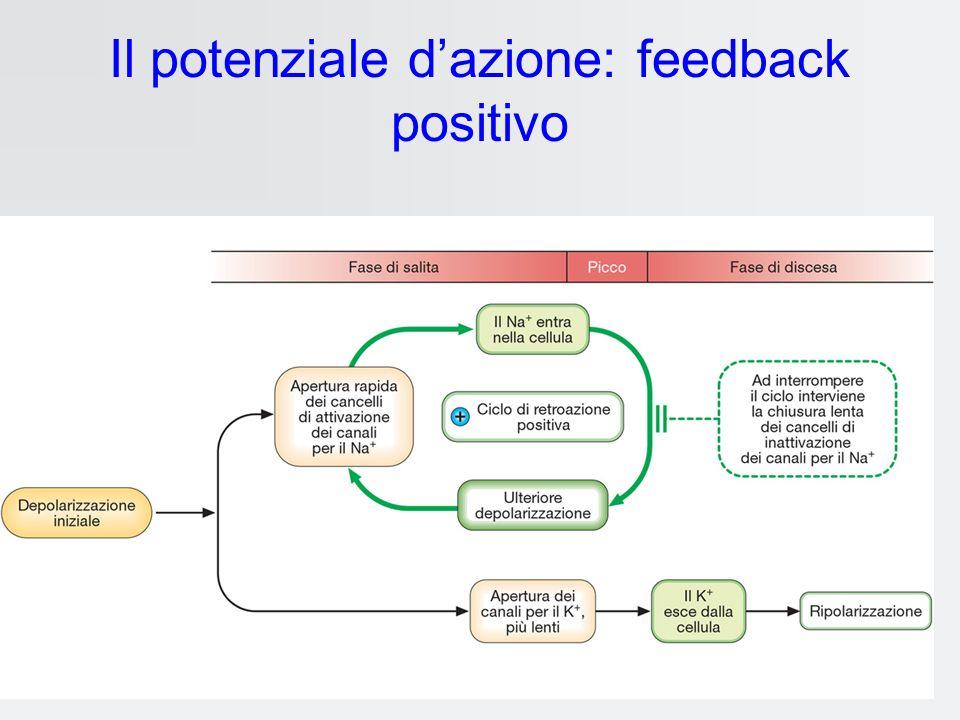 Il potenziale d'azione: feedback positivo