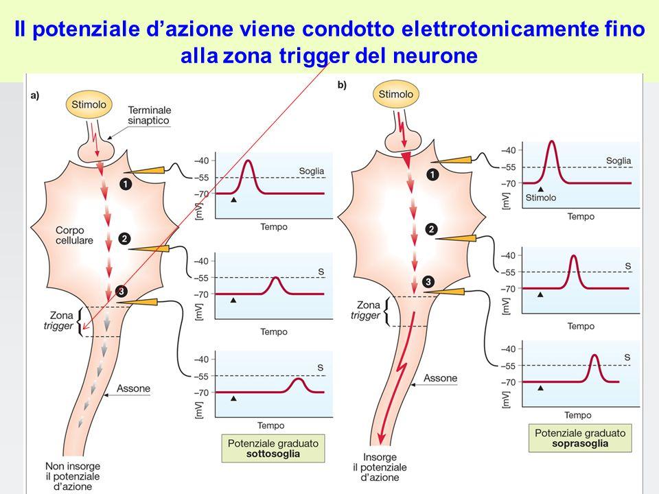 Il potenziale d'azione viene condotto elettrotonicamente fino alla zona trigger del neurone