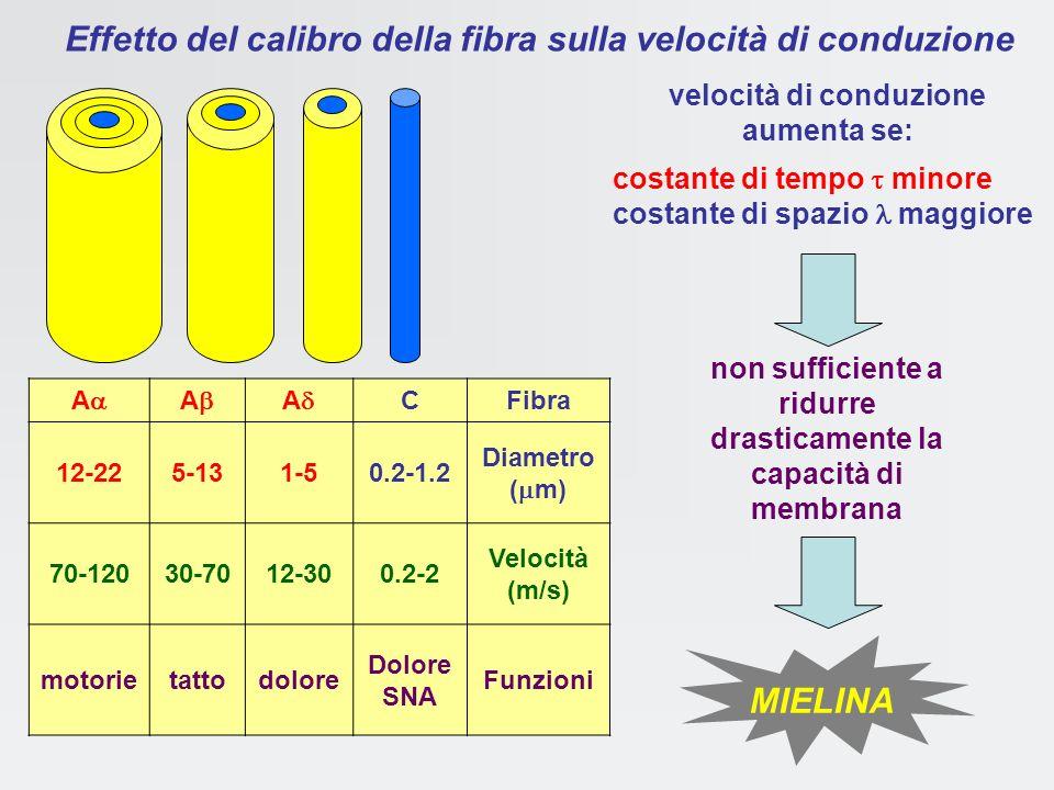 Effetto del calibro della fibra sulla velocità di conduzione