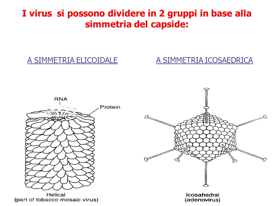 I virus si possono dividere in 2 gruppi in base alla simmetria del capside: