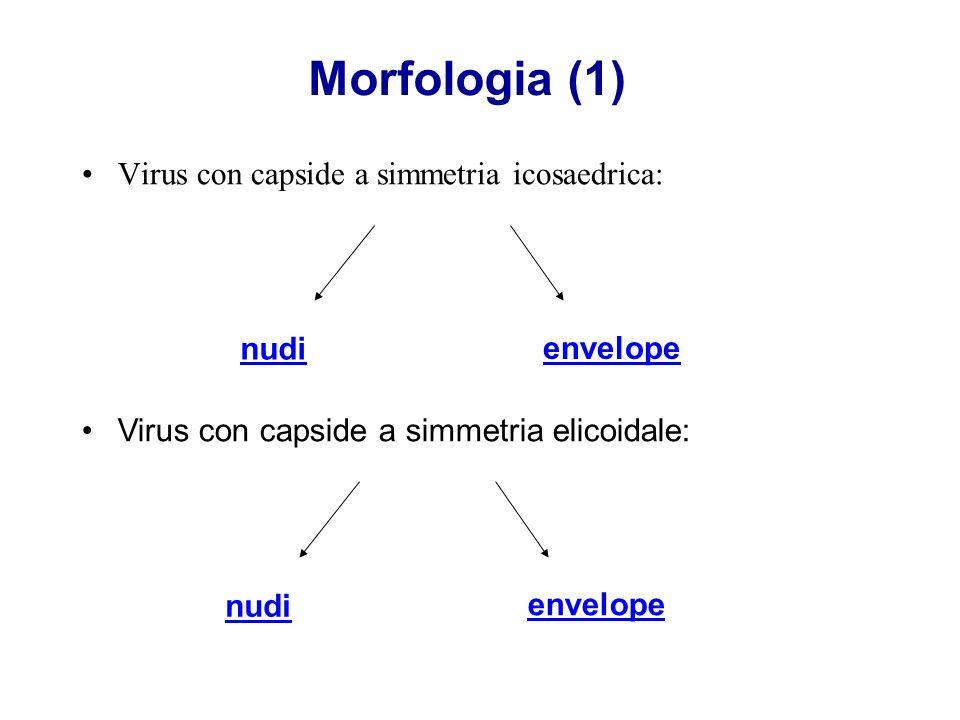 Morfologia (1) Virus con capside a simmetria icosaedrica: nudi