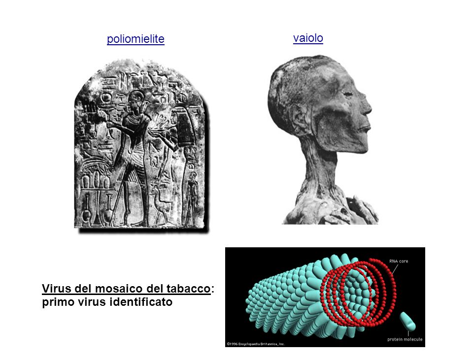 Virus del mosaico del tabacco: primo virus identificato