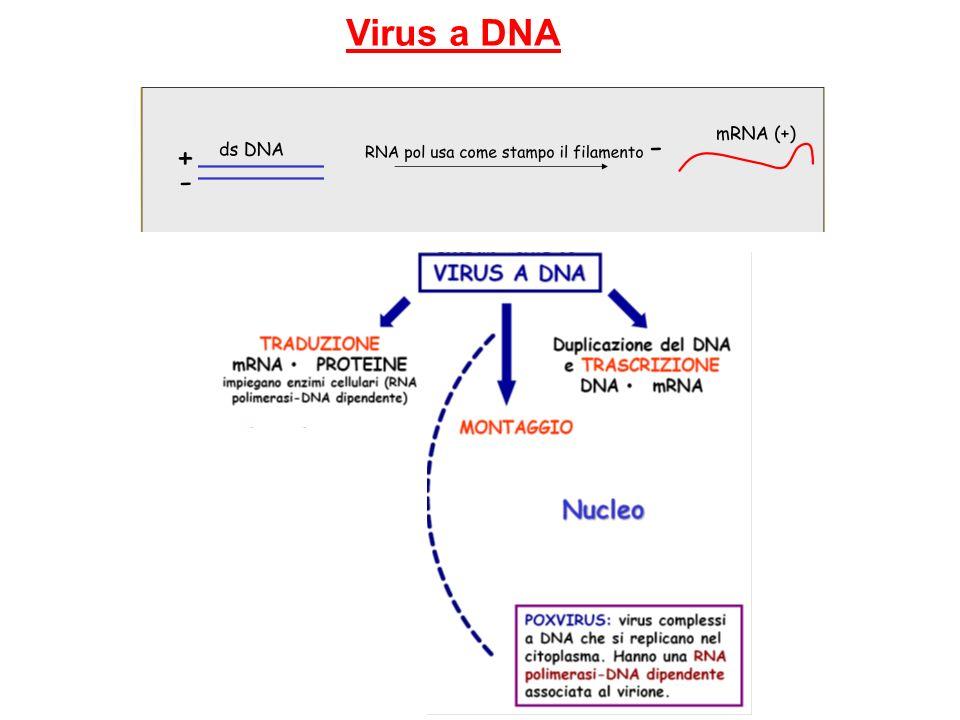 Virus a DNA