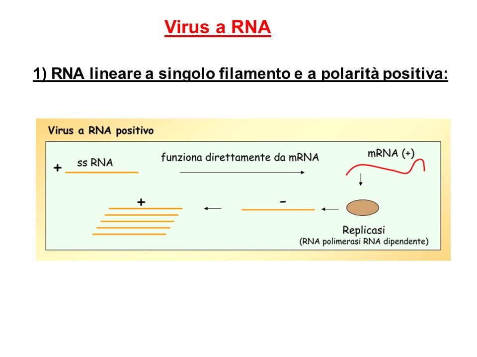 Virus a RNA 1) RNA lineare a singolo filamento e a polarità positiva: