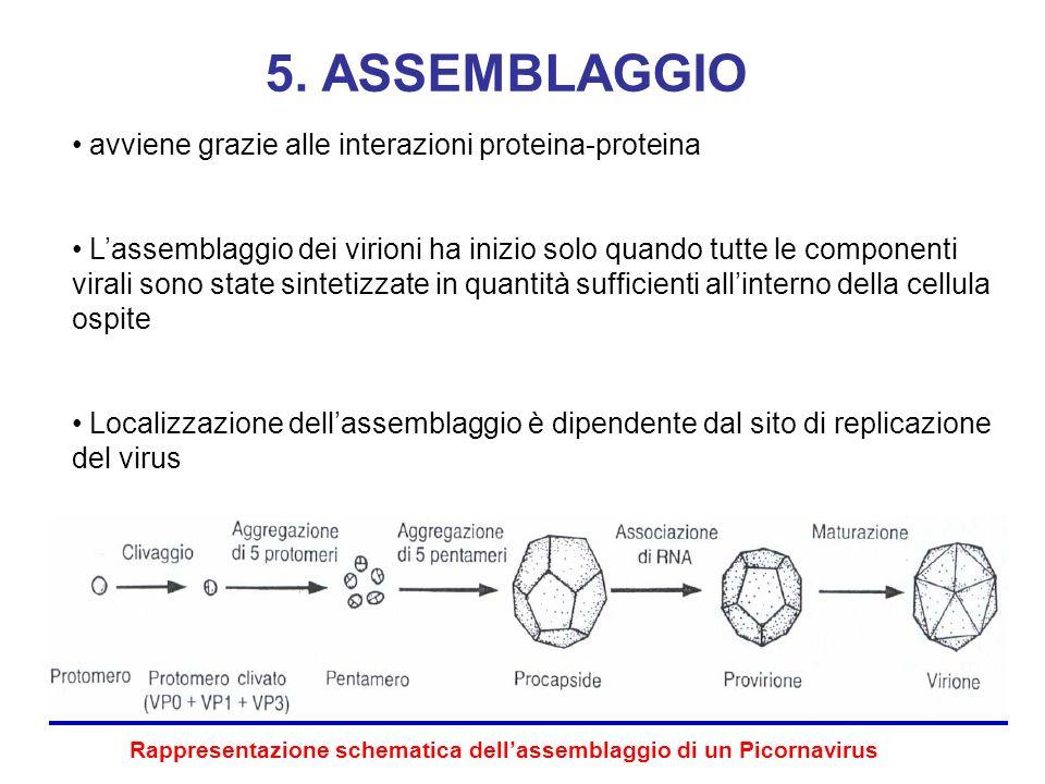 5. ASSEMBLAGGIO avviene grazie alle interazioni proteina-proteina
