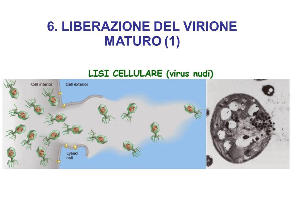 6. LIBERAZIONE DEL VIRIONE MATURO (1)