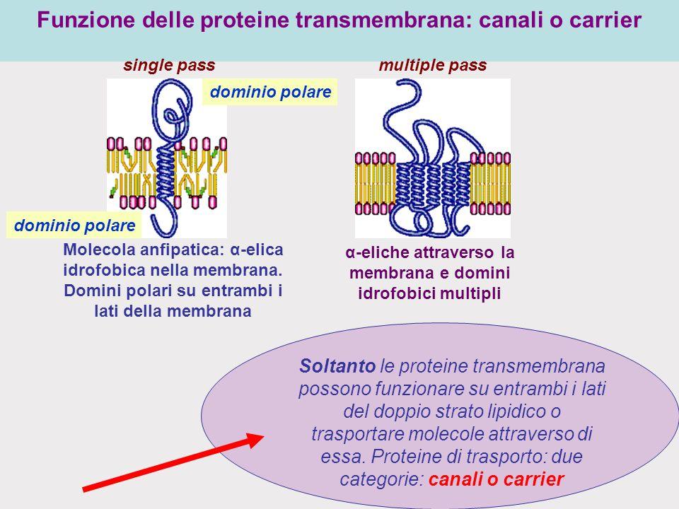 Funzione delle proteine transmembrana: canali o carrier
