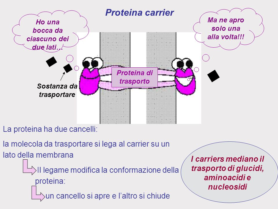 Proteina carrier La proteina ha due cancelli: