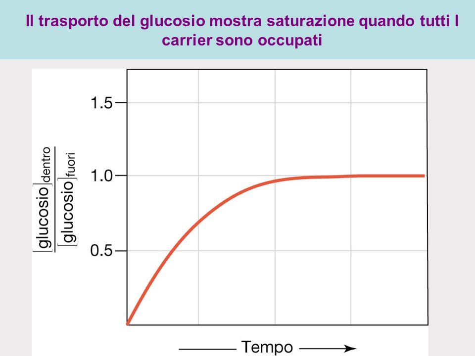 Il trasporto del glucosio mostra saturazione quando tutti I carrier sono occupati