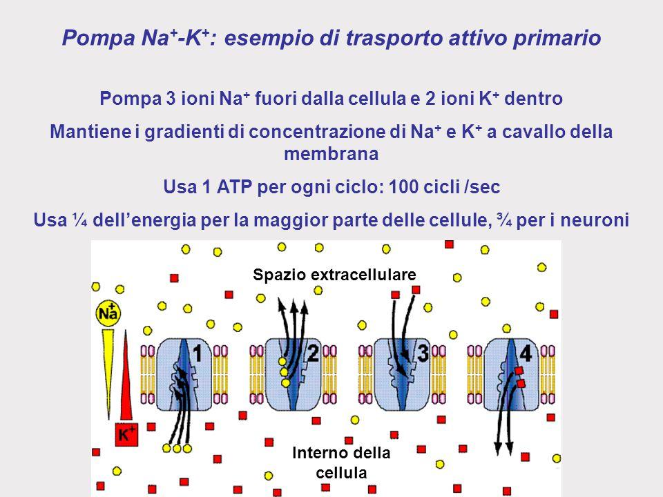 Pompa Na+-K+: esempio di trasporto attivo primario