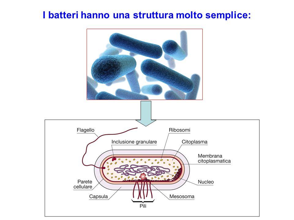 I batteri hanno una struttura molto semplice:
