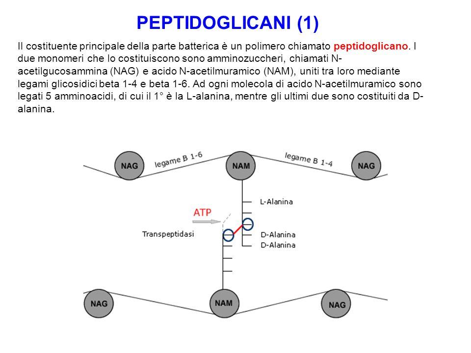 PEPTIDOGLICANI (1)