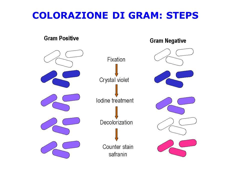 COLORAZIONE DI GRAM: STEPS
