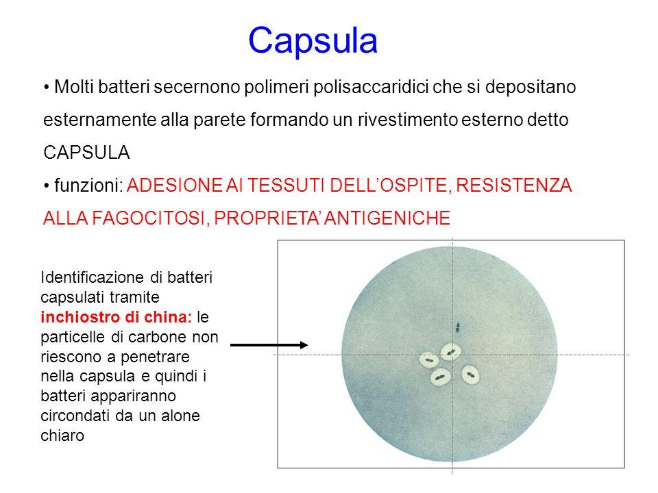 Capsula Molti batteri secernono polimeri polisaccaridici che si depositano esternamente alla parete formando un rivestimento esterno detto CAPSULA.