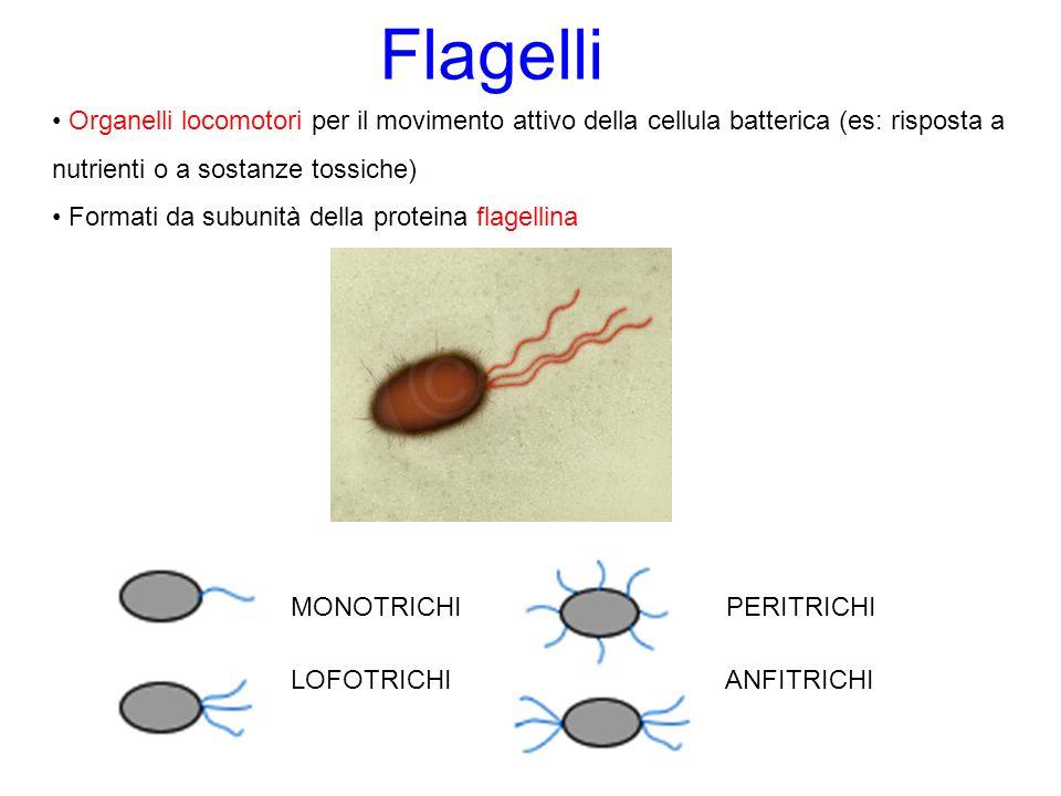 Flagelli Organelli locomotori per il movimento attivo della cellula batterica (es: risposta a nutrienti o a sostanze tossiche)