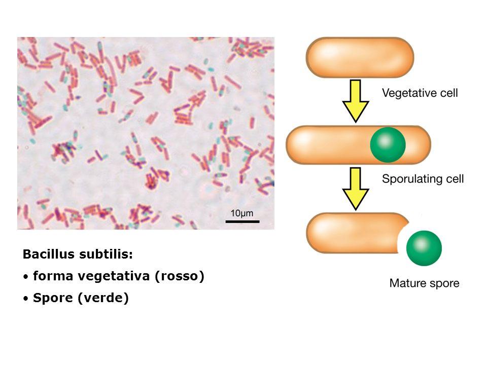 Bacillus subtilis: forma vegetativa (rosso) Spore (verde)