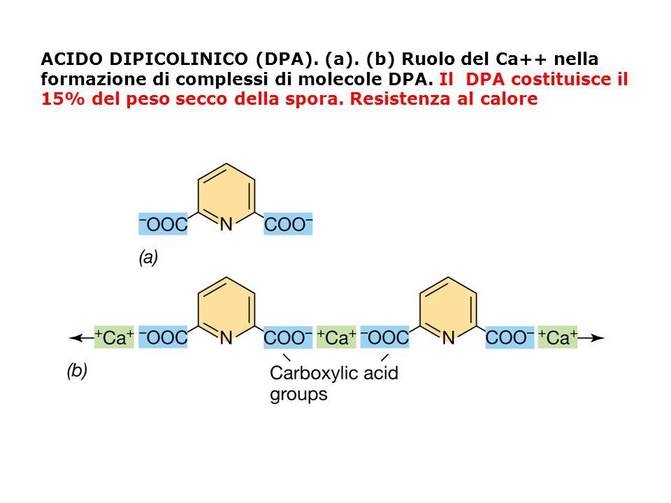 ACIDO DIPICOLINICO (DPA). (a)
