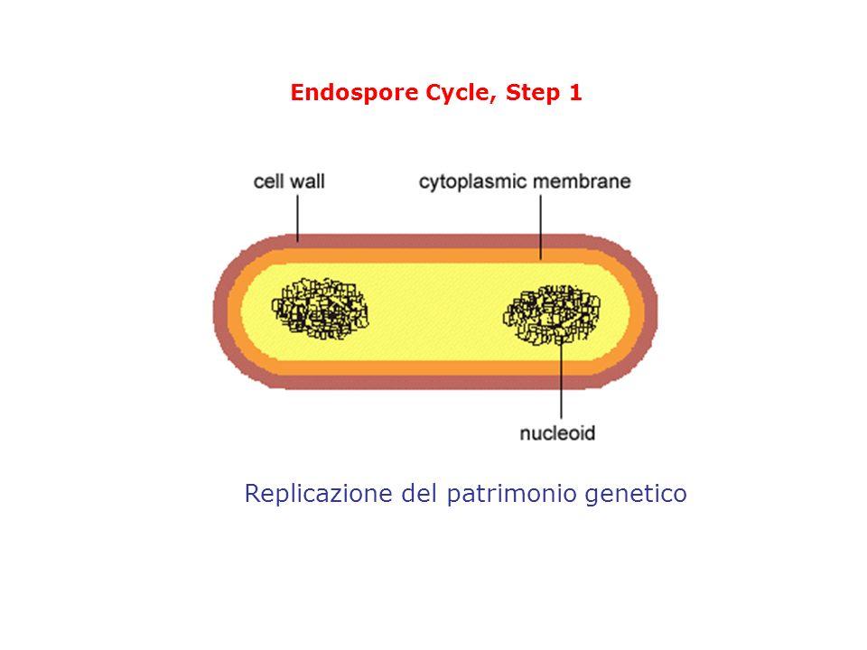 Replicazione del patrimonio genetico