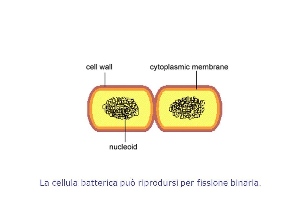 La cellula batterica può riprodursi per fissione binaria.