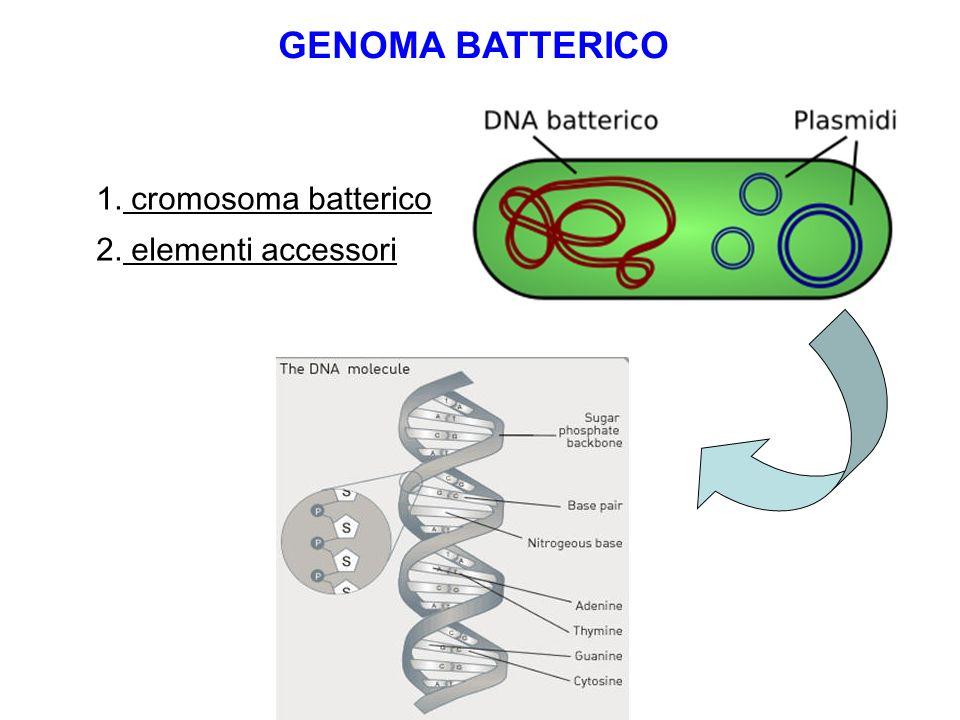 GENOMA BATTERICO 1. cromosoma batterico 2. elementi accessori