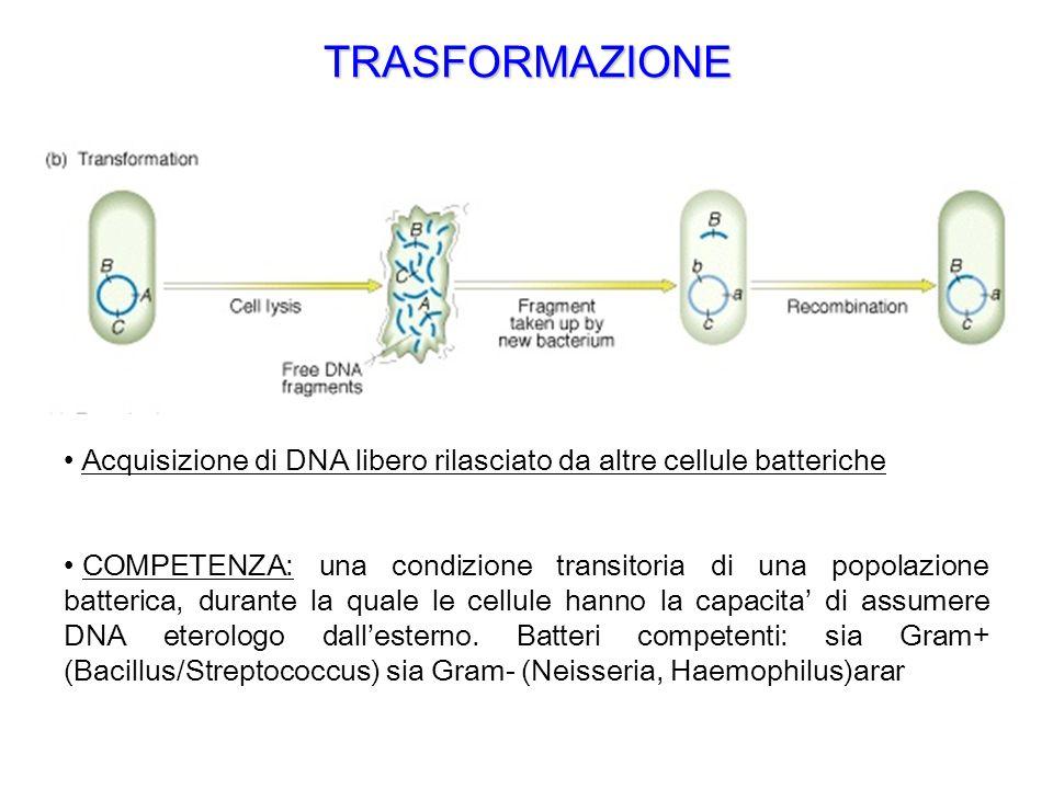 TRASFORMAZIONE Acquisizione di DNA libero rilasciato da altre cellule batteriche.