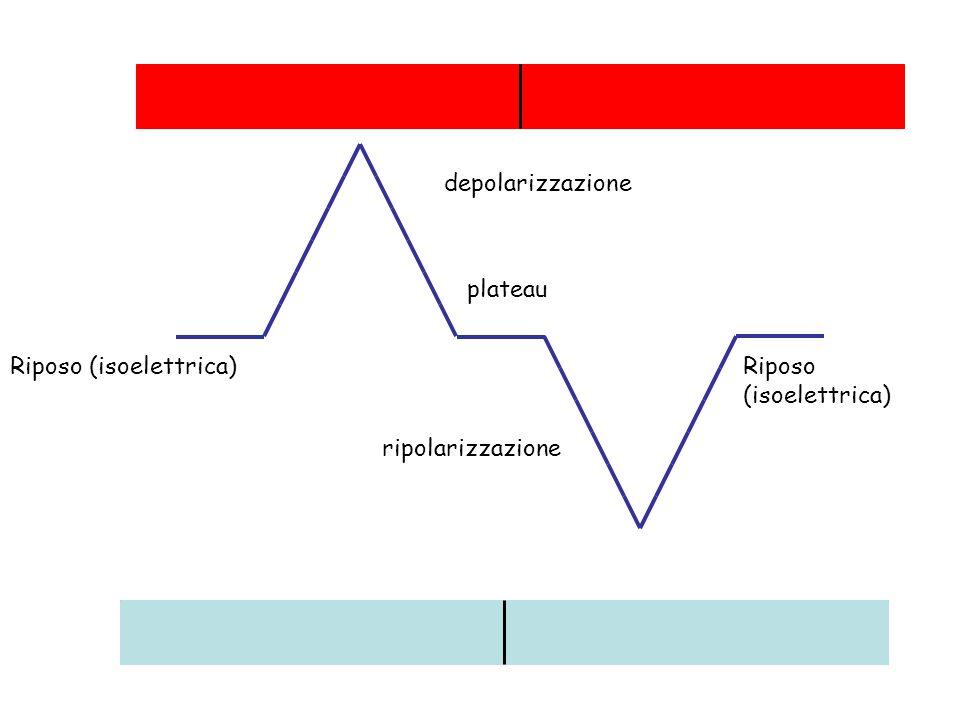 depolarizzazione plateau Riposo (isoelettrica) Riposo (isoelettrica) ripolarizzazione