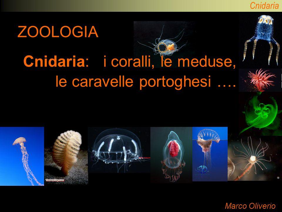 Cnidaria: i coralli, le meduse, le caravelle portoghesi ….