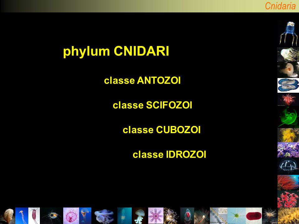 phylum CNIDARI classe ANTOZOI classe SCIFOZOI classe CUBOZOI