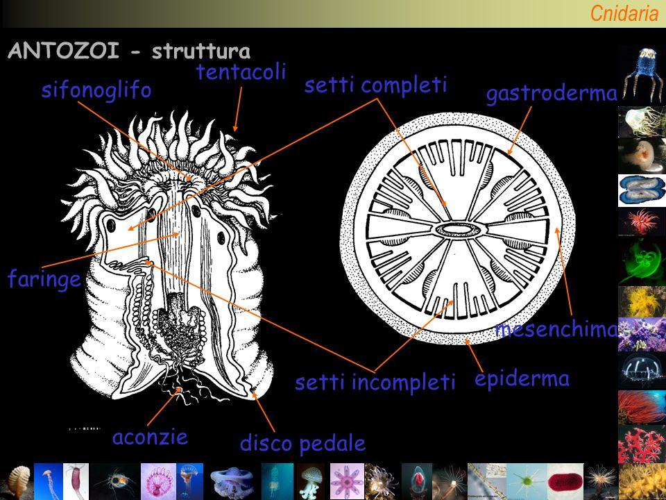 ANTOZOI - struttura tentacoli. setti completi. sifonoglifo. gastroderma. faringe. mesenchima. setti incompleti.