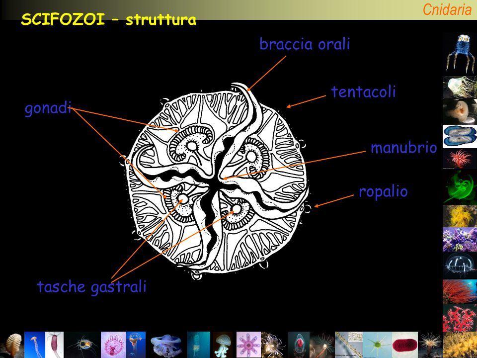 SCIFOZOI – struttura braccia orali tentacoli gonadi manubrio ropalio tasche gastrali