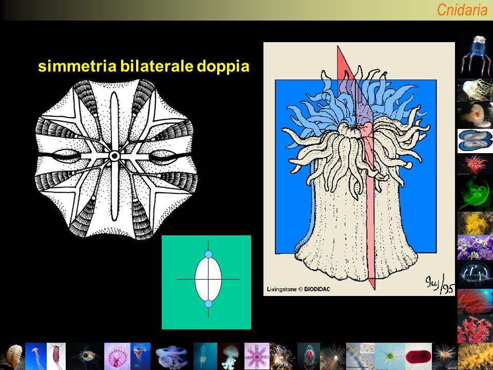 simmetria bilaterale doppia