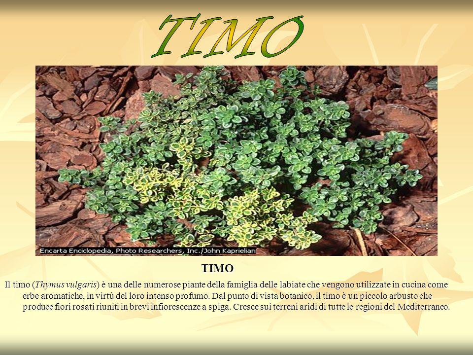 TIMO TIMO.