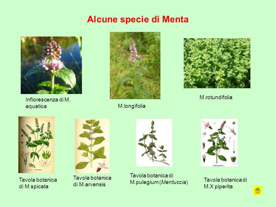Alcune specie di Menta M.rotundifolia Infiorescenza di M. aquatica