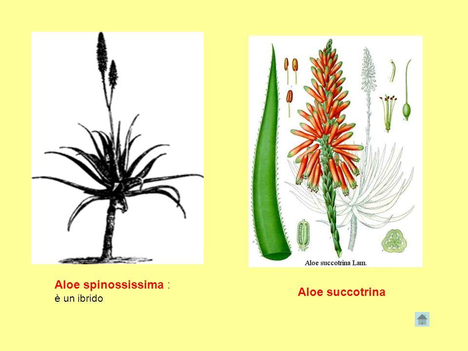 Aloe spinossissima : è un ibrido