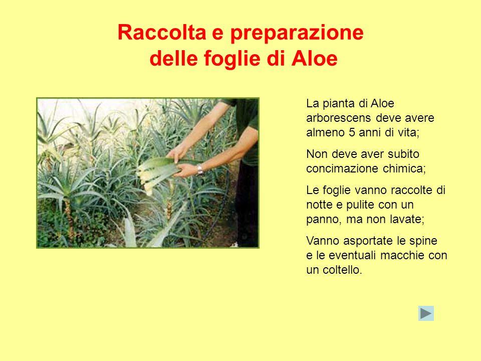 Raccolta e preparazione delle foglie di Aloe