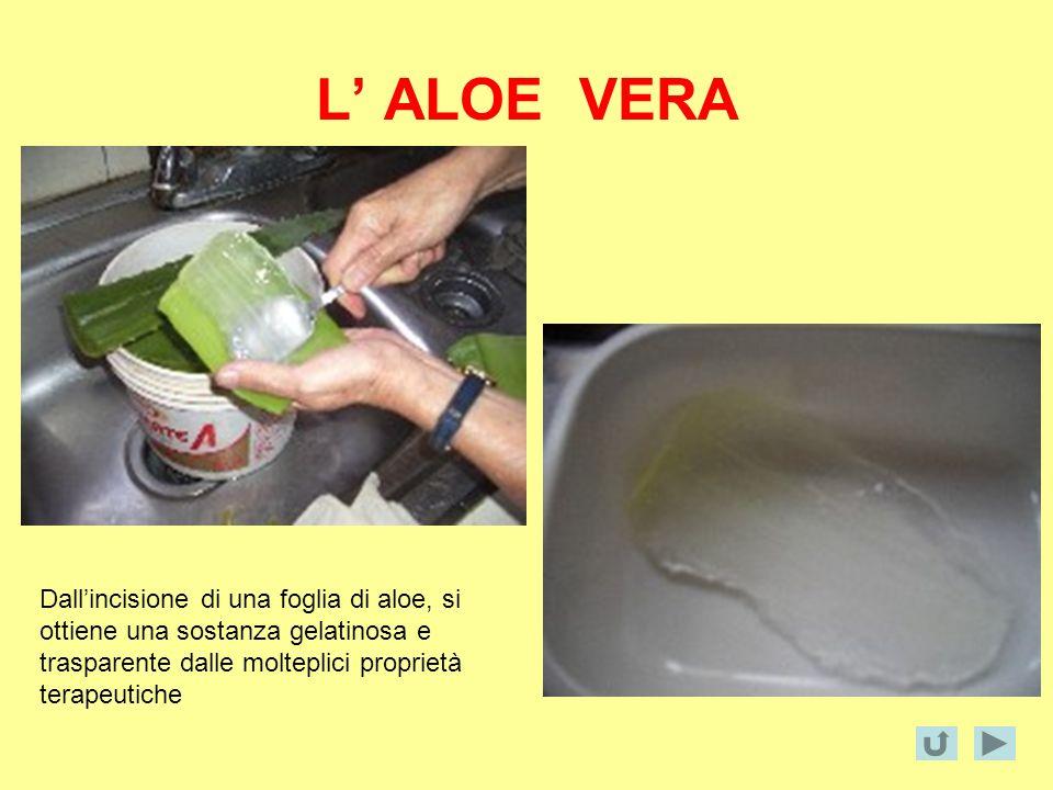 L' ALOE VERA Dall'incisione di una foglia di aloe, si ottiene una sostanza gelatinosa e trasparente dalle molteplici proprietà terapeutiche.