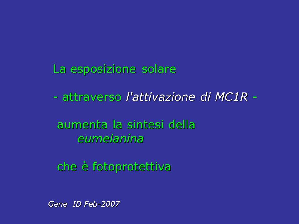 - attraverso l attivazione di MC1R - aumenta la sintesi della