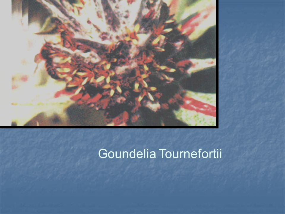 Goundelia Tournefortii