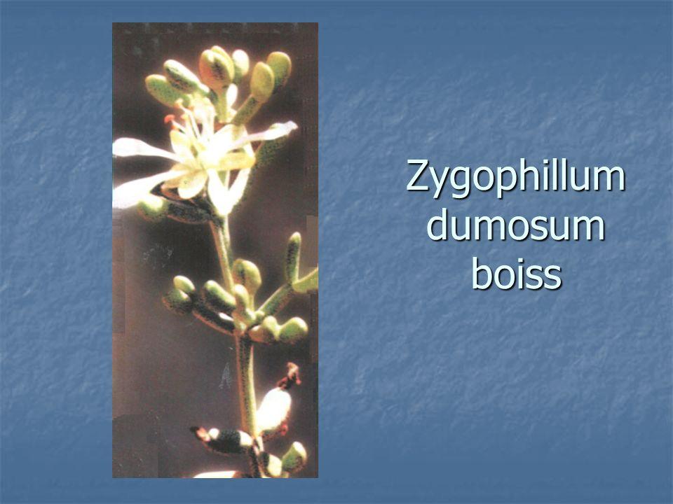 Zygophillum dumosum boiss