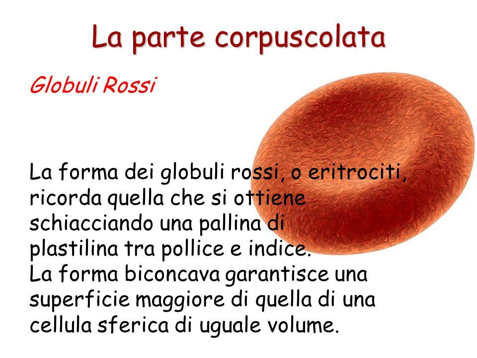 La parte corpuscolata Globuli Rossi