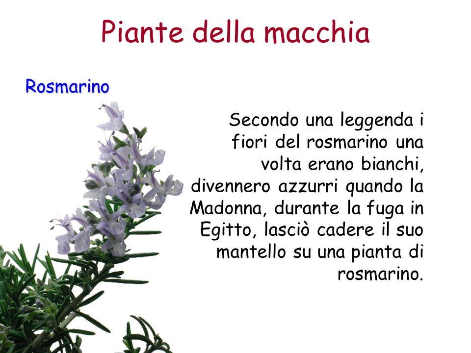 Piante della macchia Rosmarino
