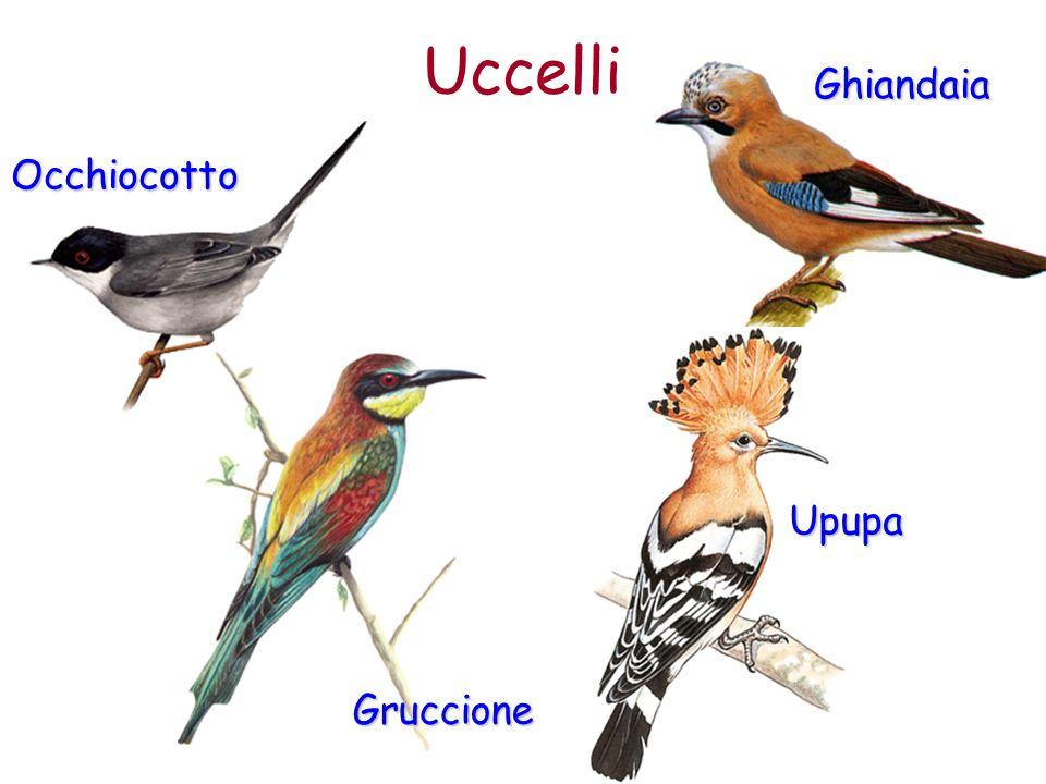 Uccelli Ghiandaia Occhiocotto Upupa Gruccione