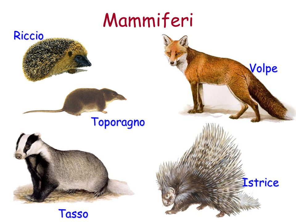 Mammiferi Riccio Volpe Toporagno Istrice Tasso
