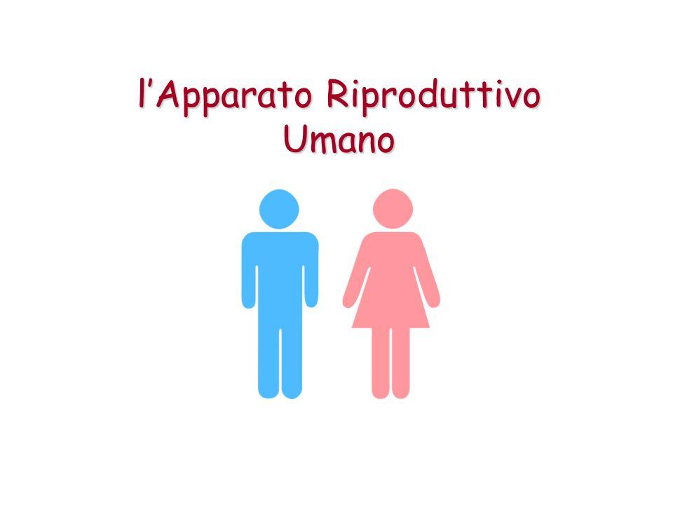 l'Apparato Riproduttivo Umano